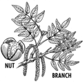Walnut (PSF).png