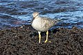 Wandering Tattler, Fort Bragg, California.jpg