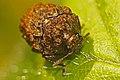 Warty Leaf Beetle - Neochlamisus sp., Woodbridge, Virginia.jpg