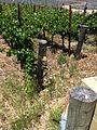 Wasp trap at Justin Vineyards.jpg