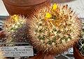 Weingartia neocumingii pulquinensis 1.jpg
