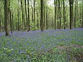 West Woods, Nr Lockeridge in May when the wood is carpeted with 'Bluebells' - geograph.org.uk - 168729.jpg