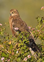 Western Marsh Harrier- Bangalore, India.jpg