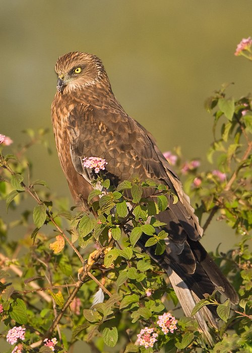 Western Marsh Harrier- Bangalore, India