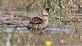 White-backed Duck (Thalassornis leuconotus) (32673107408).jpg