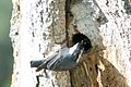 White-breasted Nuthatch (nesting) -NMP 6-11-12 3.jpg