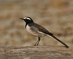 White-browed Wagtail (Motacilla maderaspatensis) at Jayanti, Duars, West Bengal W Picture 475.jpg