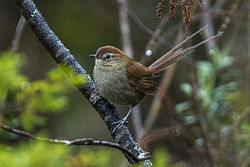White-chinned Thistletail - Ecuador S4E4517.jpg