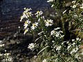 White-flowered Sea Aster (Aster tripolium), Tyne riverside - geograph.org.uk - 1519733.jpg