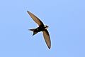 White-rumped swift, Apus caffer, at Suikerbosrand Nature Reserve, Gauteng, South Africa (30394996022).jpg