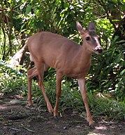White-tailed Deer, female, Costa Rica.jpg