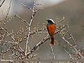White-winged Redstart (Phoenicurus erythrogastrus) (24210172766).jpg
