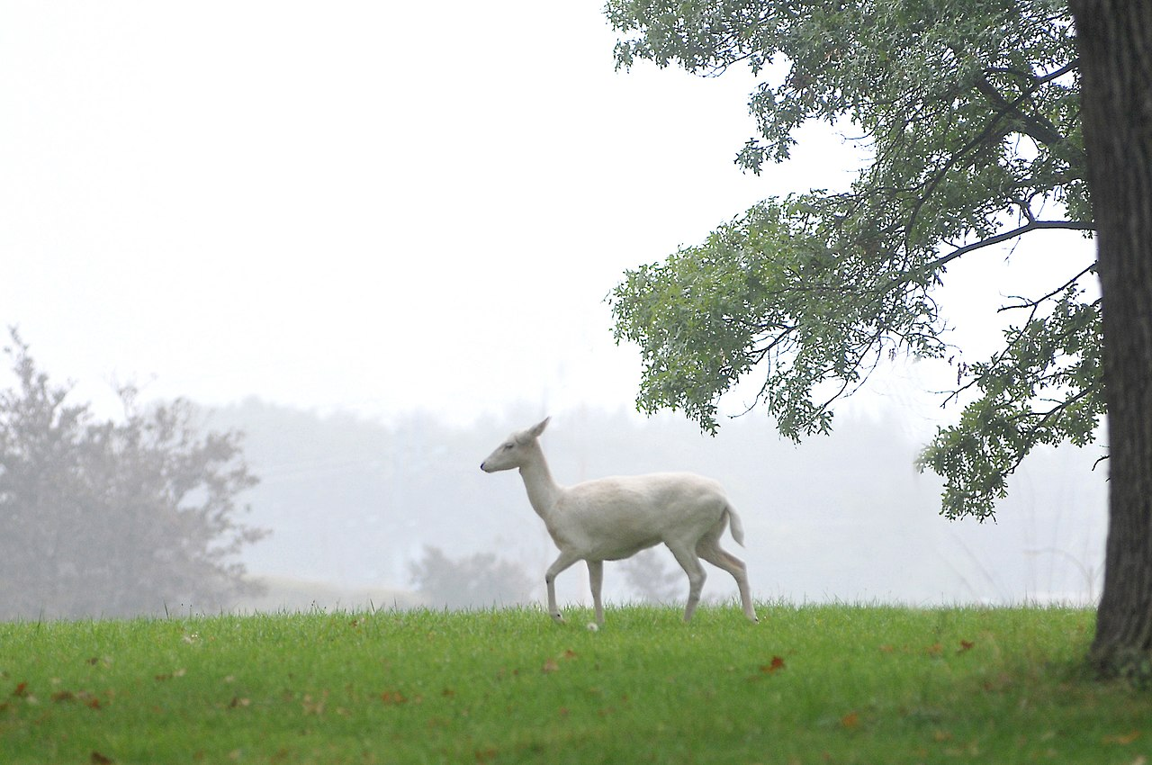 http://upload.wikimedia.org/wikipedia/commons/thumb/3/33/White_deer_argonne.jpg/1280px-White_deer_argonne.jpg