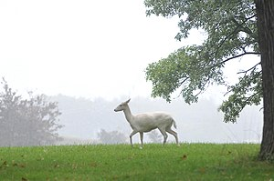 "Belle Isle Park (Michigan) - Many fallow deer including the ""white"" variety were formerly widespread on the island"