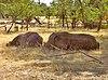 White rhino Livingstone.jpg