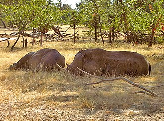 African Wildlife Foundation - The two white rhinos at Mosi-oa-Tunya National Park in May 2005