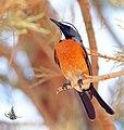 White throat Robin.jpg