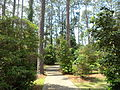 Whitehead Camellia Trail 4.JPG