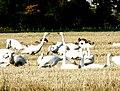 Whooper Swans conversing, Balinroich - geograph.org.uk - 1015628.jpg
