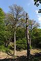 Wien-Hietzing - Naturdenkmal 478 - Urwald am Johannserkogel.jpg