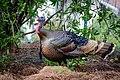 Wild Turkey (m) (40253787974).jpg
