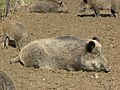 Wildschweingehege - panoramio - Richard Mayer.jpg