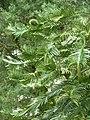 Wollemia nobilis (3).jpg