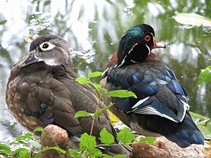 Wood Ducks 1