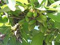 Wzwz tree 11e Cornus mas.jpg