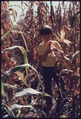 YOUNGSTER PICKS UP AN EAR OF CORN AT THE HALE FARM WHICH IS ADJACENT TO THE WESTERN RESERVE VILLAGE NEAR AKRON, OHIO.... - NARA - 557937.tif