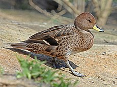 Yellow-billed Pintail RWD14.jpg