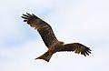 Yellow-billed kite, Milvus aegyptius, at Elephant Sands Lodge, Botswana (31407272184).jpg