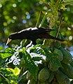 Yellow-rumped Cacique (Cacicus cela) in Papaya tree (29314929402).jpg