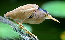 A beige heron with yellow legs and bill stands hunched, its neck is hidden in the feathers of the body, on a wire mesh above water.