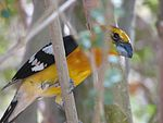 Yellow grosbeak.jpg
