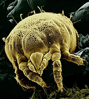 Lorryia formosa - Scanning electron micrography of L. formosa, front view of the capitulum