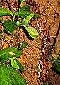 Young boa constrictor (6235901901).jpg