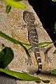 Young tokay gecko (16583717168).jpg