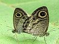 Ypthima huebneri mating by Kadavoor.JPG