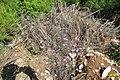 Zakynthos flora (35919161025).jpg