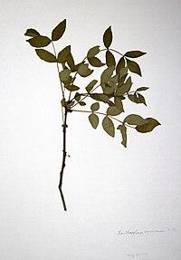 Zanthoxylum americanum BW-1979-0529-0658.jpg