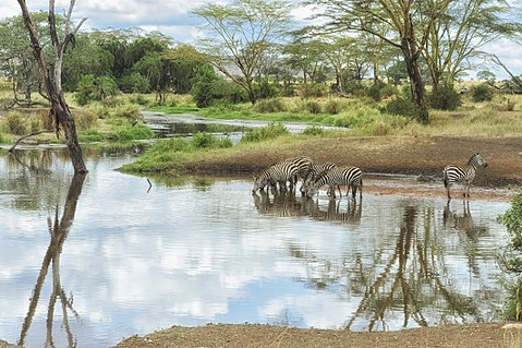 Site No. 156: Serengeti National Park, an example of a natural heritage site Zerbras drinking.jpg