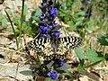 Zerynthia polyxena, Lepidoptera-Papilionidae.jpg