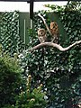 Zoo Ohrada, sovy, puštík obecný 01.jpg