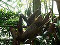 Zoo Zlín, lenochod dvouprstý.JPG