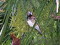 Zoothera dohertyi.jpg