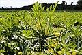 Zucchetti vegetables field 1646562.jpg