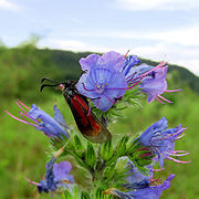 Zygaena-purpuralis-Komplex 1.jpg