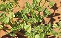 Zygophyllum eremeaum fruit.jpg