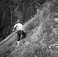 """""""Kasc"""" (kosec) seče travo u grivi, Bukovski Vrh 1954.jpg"""